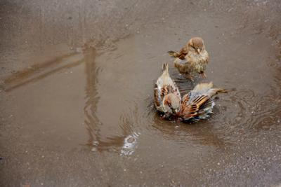 Воспитательный процесс воробьи лужи птицы