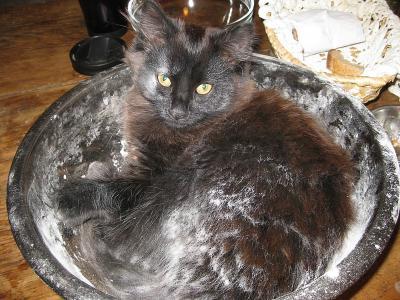 Пельмень кот животные