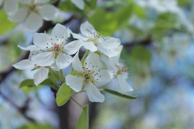 *** цветы яблоня весна flowers apple tree spring
