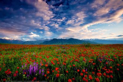 Весны короткий миг киргизия бишкек ала-тоо горы май маки горные цветы lazy_vlad lazyvladphoto