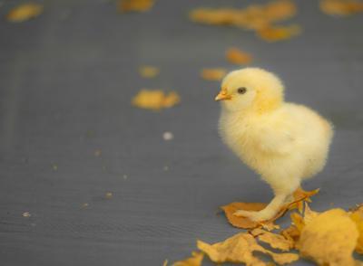 Осенний. цыпленок фавероль листья