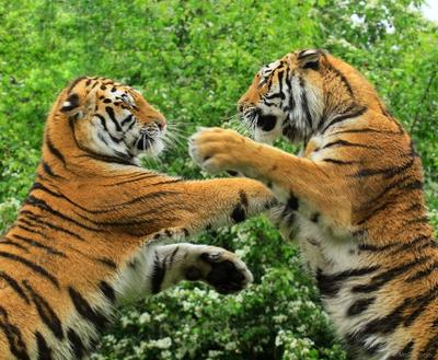 Большие кошки. Бокс кошкофото большие кошки амурский тигр бокс