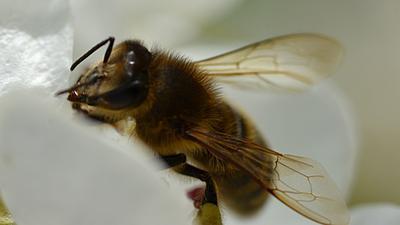Пчела цветы пчелы макро
