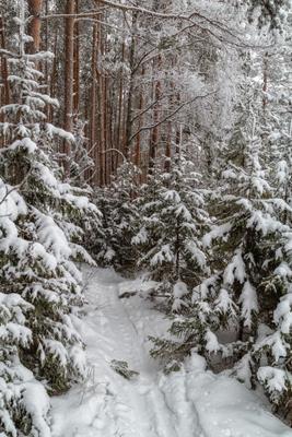 *** лес зима снег ёлки сосны