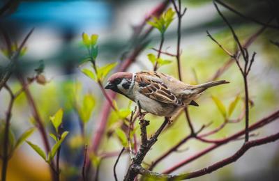 *** весна птицы воробей
