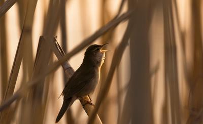 певец птица сверчок тростник закат