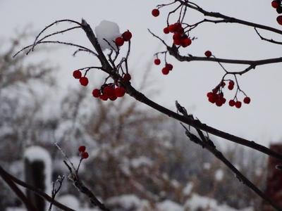 *** рябина снег