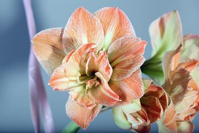 Весна на подоконнике цветы, амарилис