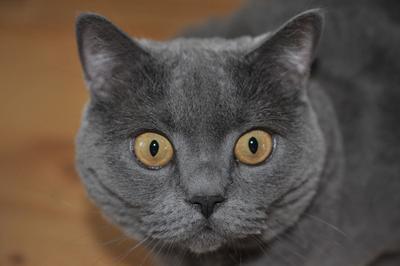 yну че надо-то?????????? кошки взгляд животные британец