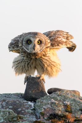 Тотем сова