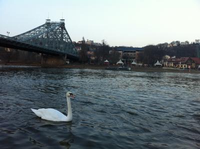 Лебедь белая птицы река лебедь мост природа