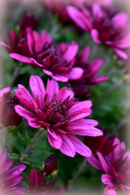Время цветения хризантем_2 осень октябрь цветок хризантема