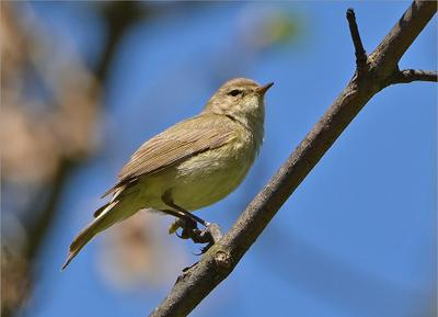 пеночка-теньковка птичка птица Польша пеночка-теньковка леc весна Бытом