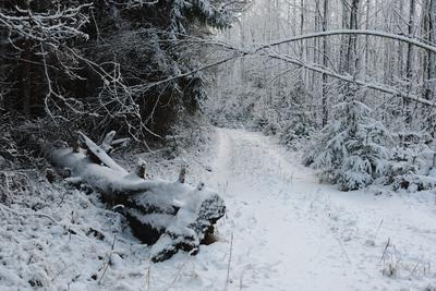 Лесная дорога лес дорога снег коряга сушина зима