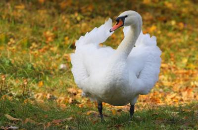 Белокурый красавец лебедь птица благородство гордость угроза