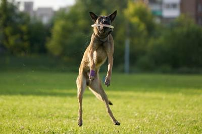 Фрисби 3 Собака Собакен Малинуа Бельгийскаяовчарка Овчарка Фрисби диск тарелка SAL-70200G2