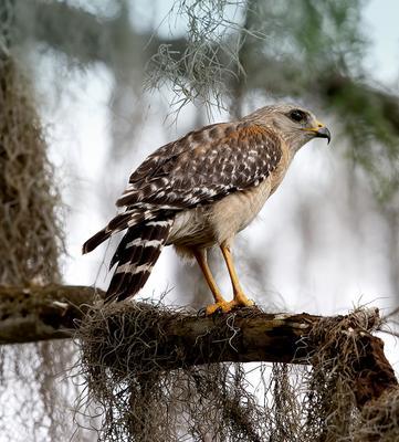Red-shouldered Hawk -Красноплечий канюк
