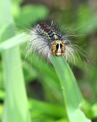 жующие-ползущие гусеницы природа насекомые