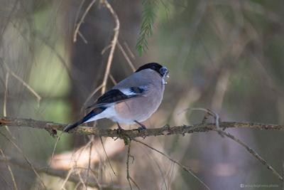 Довольная снегириха щёлкает семечки птица фотоохота снегирь природа бёрдинг бёрдвотчинг