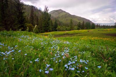 Алтайское разноцветье алтай Большой Ильгумень река цветы