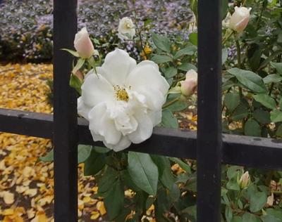 Продлите бабье лето! Природа осень роза