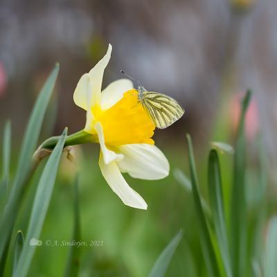 Бабочка брюквенница на нарциссе макро бабочка нарцисс цветы природа