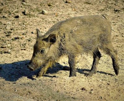 Из маленького поросёнка- всегда вырастает большая свинья