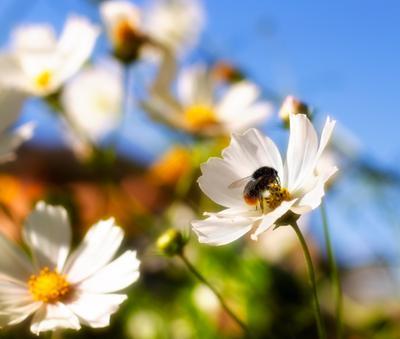 Ам-ням-ням шмель цветок макро вкусно нектар пить
