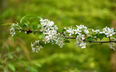 Ветка вишни вишня цветы весна