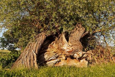 Опять весна Весна старость дерево