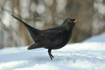 Чёрный дрозд птица чёрный дрозд