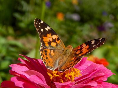 Бабочка на циннии