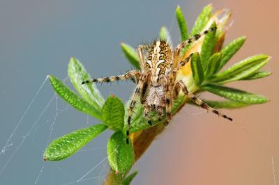 Ловец розовых снов паук, охотник, паутина