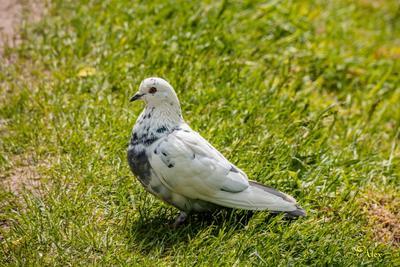 Голубка голубка птица лето