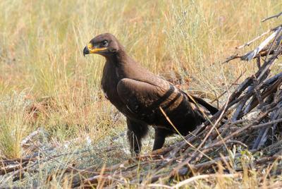 Летающий орлик. лето степь гнездо степного орла