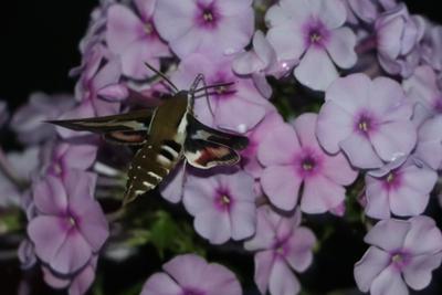 Ночной гость.. цветы мотылек