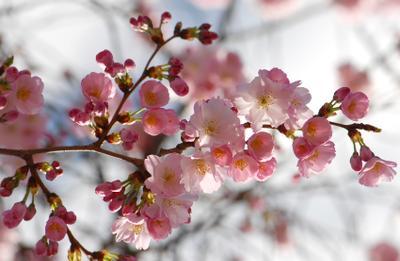 Розовое облако розовые цветы весна облако
