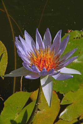 Голубой лотос Солнечный день, лотос, азия, шри-ланка, природа, цветок