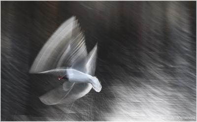 Про полёт Озёрная чайка Larus ridibundus