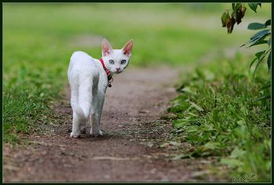 Ну, долго ещё? кошка девушка вишнёвый сад