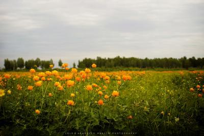 Оранжевое поле Жарки купальница поле цветы природа вечер