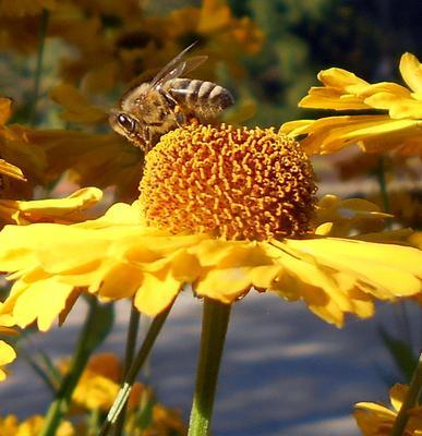 Пчёлка Пчёлка цветок