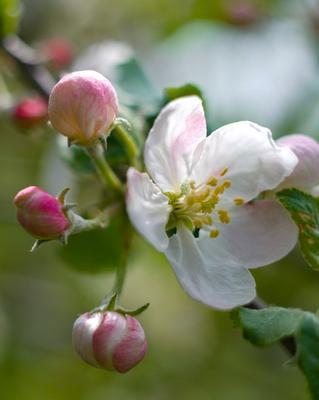Наша яблоня