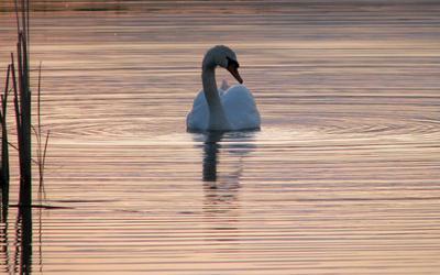 вечернее вечер озеро лебедь