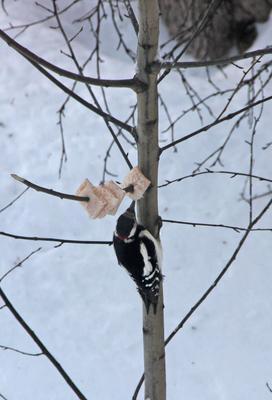 Сало и дятел Сибирь зима снег птица