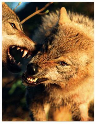 Мужской разговор Волк фотоохота дикая жизнь