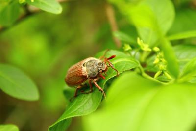 Весенний лес Майский жук