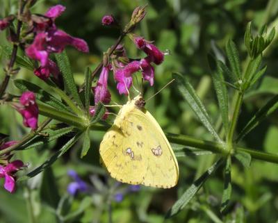 Просто бабочка бабочка Калифорния