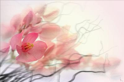 Балет розовый, макро, ветки, цветы