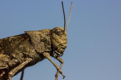 Кузнечик насекомые кузнечик